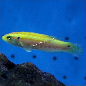 Candy Hogfish 8cm