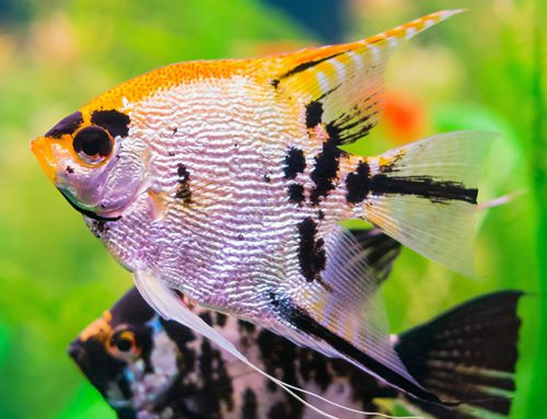 OATA Fish Care Species Guides