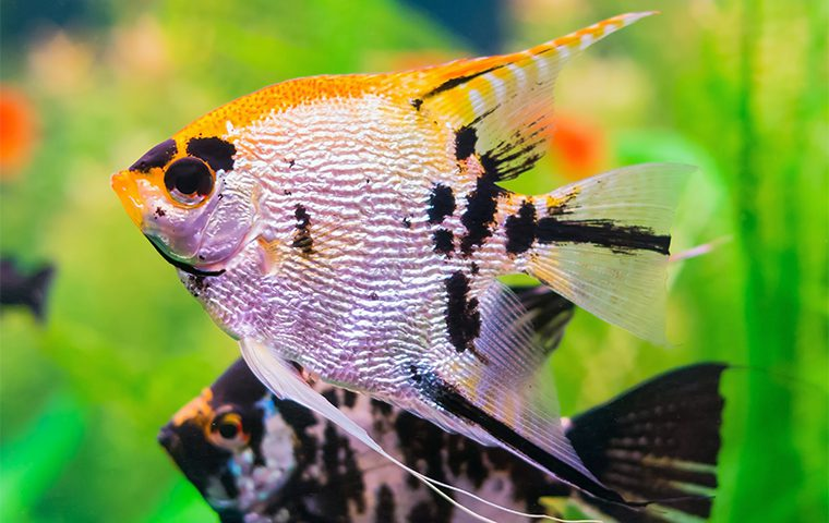Oata fish care species guides the water zoo for Ornamental pond fish types